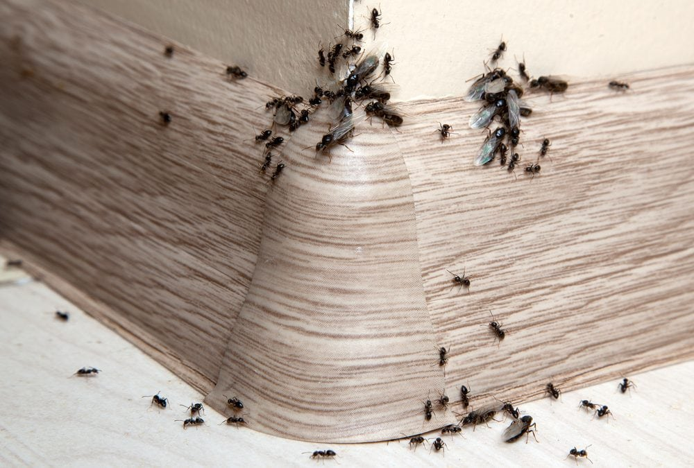 DIY Solutions for Dealing With Ants