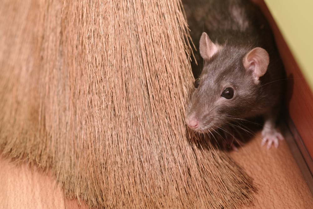 The Tell-Tale Signs that You Have Mice