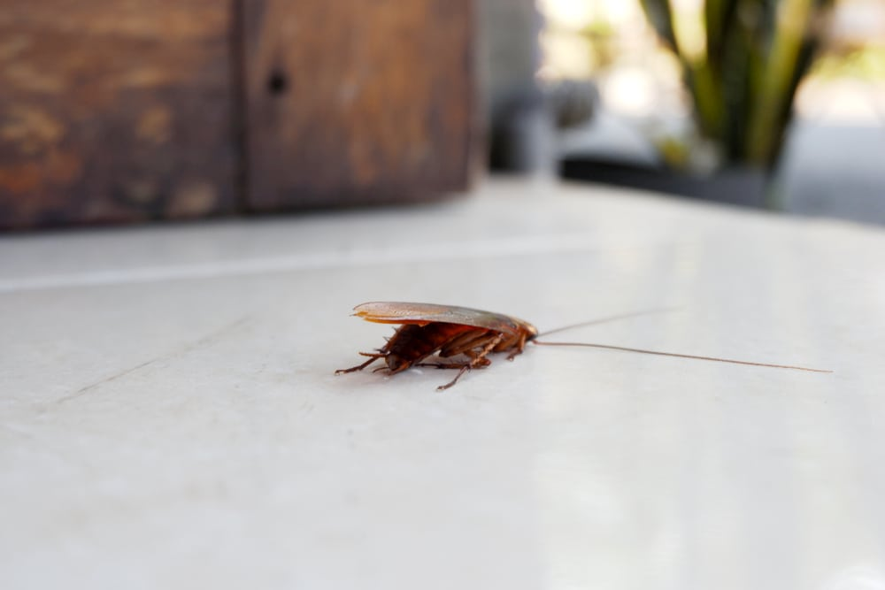 What are Cockroaches Really Doing In Your Home?