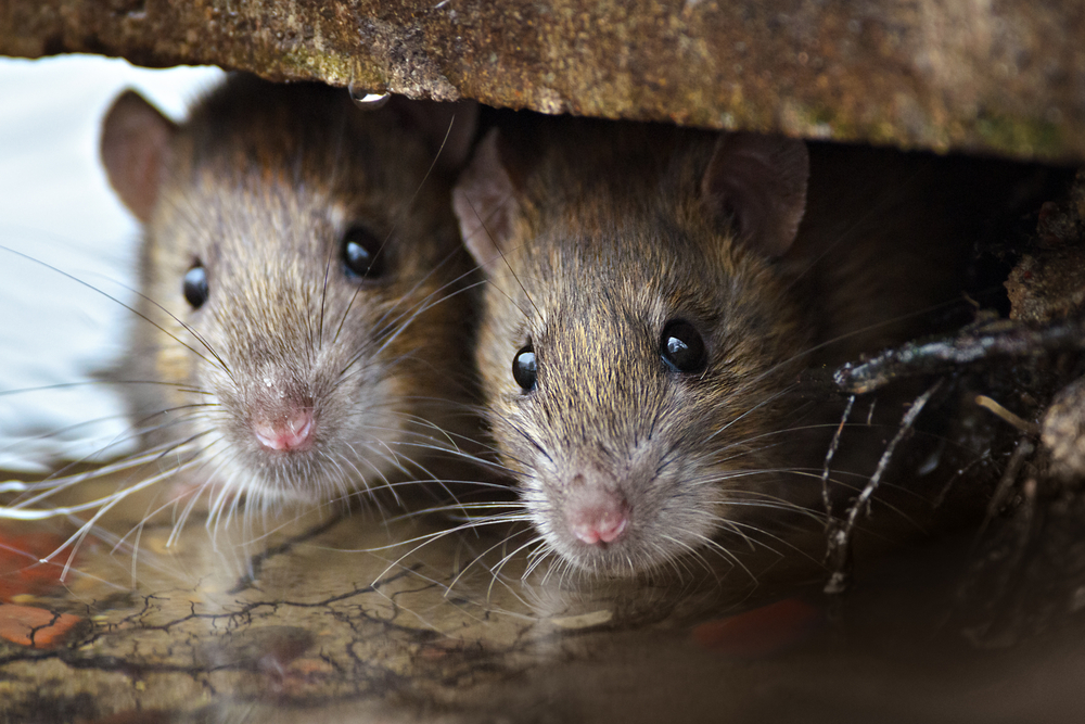 The Top Four Hiding Places For Rodents in Your Home