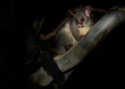 Possum on tree branch at night.
