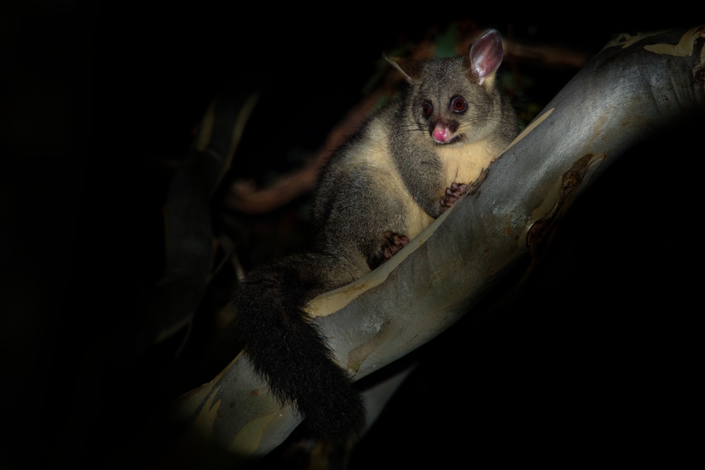 Prevent Possums From Getting Into Your Roof In The First Place