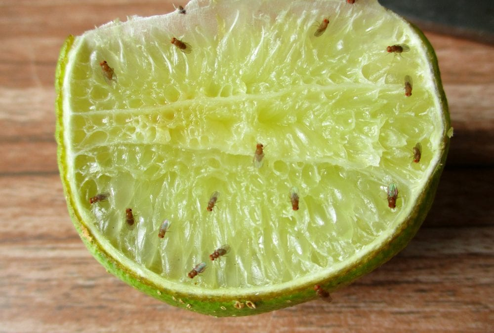 Bring Fruit Not Fruit Flies Across States in Australia