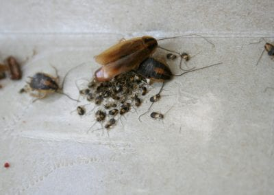 Two large cockroaches with their eggs.
