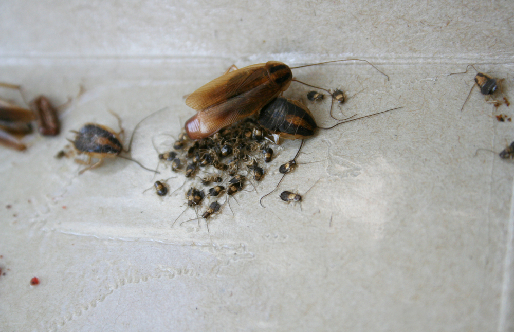 It's Not Just About The Cockroach, It's About Their Eggs Too!