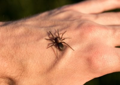 Spider biting a male hand.